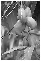 Mango fruit on tree, Gilroy Gardens. California, USA ( black and white)