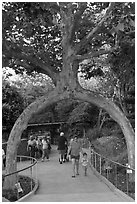 Archway formed by a tree, Gilroy Gardens. California, USA ( black and white)