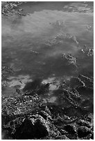 Kelp from above. Point Lobos State Preserve, California, USA ( black and white)