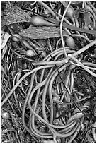 Beached kelp close-up. Point Lobos State Preserve, California, USA ( black and white)