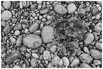 Wet pebbles and red algae. Point Lobos State Preserve, California, USA ( black and white)
