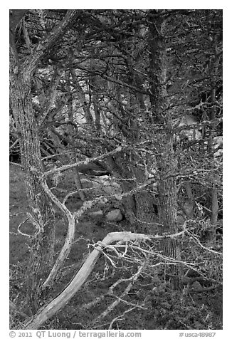 Cypress trees. Point Lobos State Preserve, California, USA (black and white)