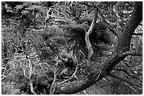 Monterey Cypress with carotene. Point Lobos State Preserve, California, USA (black and white)