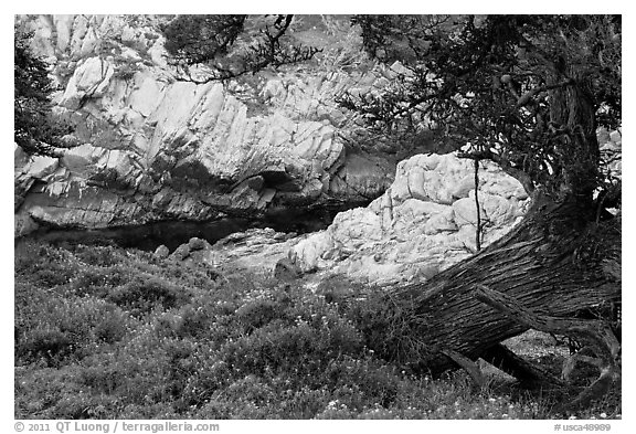 Monterey Cypress, wildflowers, and cove. Point Lobos State Preserve, California, USA (black and white)