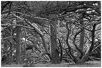 Monterey cypress. Point Lobos State Preserve, California, USA (black and white)