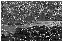 Flock of birds in flight. Carmel-by-the-Sea, California, USA (black and white)