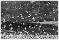Seagull flock. Carmel-by-the-Sea, California, USA (black and white)