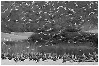 Seagulls flying and pelicans on beach. Carmel-by-the-Sea, California, USA (black and white)