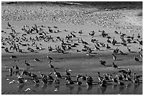 Pelicans and seagulls, Carmel River State Beach. Carmel-by-the-Sea, California, USA (black and white)