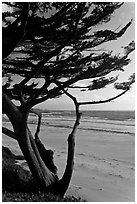 Cypress at the edge of Carmel Beach. Carmel-by-the-Sea, California, USA (black and white)