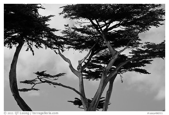 Monterey Cypress and sky, Lovers Point. Pacific Grove, California, USA (black and white)