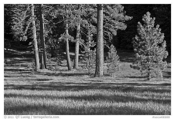 Pines and meadow near Grant Grove, Giant Sequoia National Monument near Kings Canyon National Park. California, USA (black and white)
