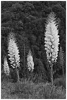 Yucca in bloom near Yucca Point, Giant Sequoia National Monument near Kings Canyon National Park. California, USA (black and white)