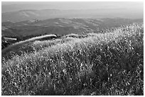 Summer grasses on Evergreen Hills. San Jose, California, USA ( black and white)