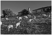 Sheep grazing below houses, Silver Creek. San Jose, California, USA ( black and white)