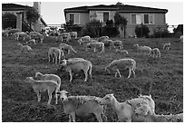Sheep and suburban hones, Silver Creek. San Jose, California, USA ( black and white)