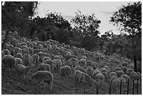 Sheep at sunset, Silver Creek. San Jose, California, USA ( black and white)