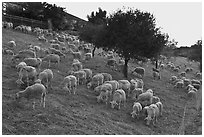 Herd of sheep, Silver Creek. San Jose, California, USA ( black and white)