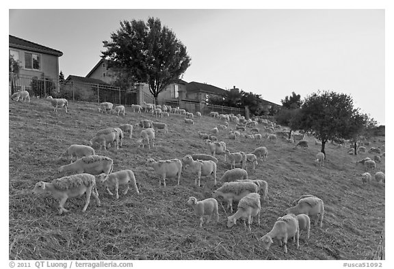 Sheep on slope below residences, Silver Creek. San Jose, California, USA (black and white)