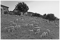 Sheep on slope below residences, Silver Creek. San Jose, California, USA ( black and white)