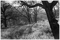 Trees in early spring, Almaden Quicksilver Park. San Jose, California, USA ( black and white)