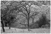 Trees, early spring, Joseph Grant Park. San Jose, California, USA (black and white)