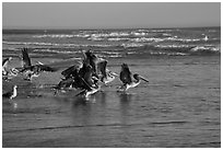 Pelicans, Scott Creek Beach. California, USA (black and white)