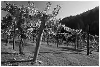 Savannah-Chanelle Vineyards, Santa Cruz Mountains. California, USA (black and white)