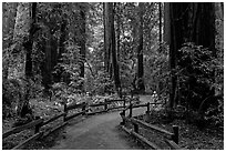 Visitor in redwood forest. Muir Woods National Monument, California, USA (black and white)