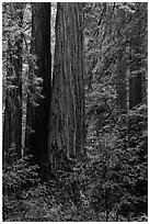 Redwoods and lush undergrowth. Muir Woods National Monument, California, USA (black and white)
