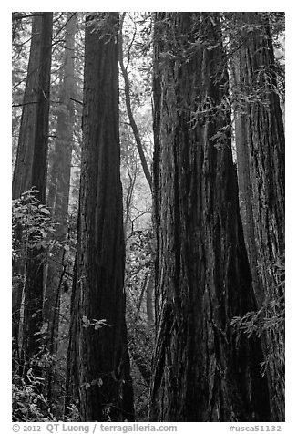 Tall redwood trees in fog. Muir Woods National Monument, California, USA (black and white)