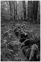 Tiny stream and ferns. Muir Woods National Monument, California, USA (black and white)