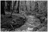 Stream in redwood forest. Muir Woods National Monument, California, USA (black and white)