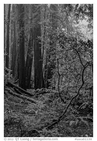 Fog. Muir Woods National Monument, California, USA (black and white)