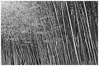 Bamboo forest. Saragota,  California, USA ( black and white)