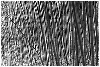 Bamboo grove. Saragota,  California, USA ( black and white)