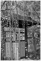 Gate and blossoms. Saragota,  California, USA (black and white)