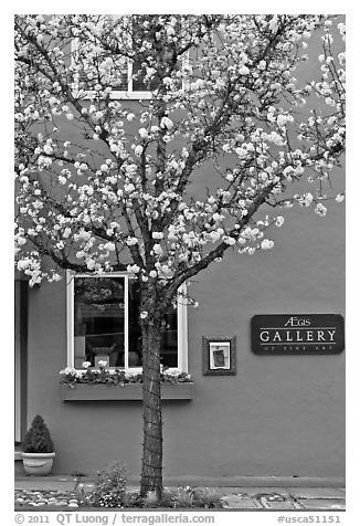 Tree in bloom and art gallery. Saragota,  California, USA