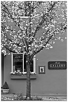 Tree in bloom and art gallery. Saragota,  California, USA (black and white)