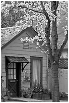 Tree in bloom and house. Saragota,  California, USA (black and white)