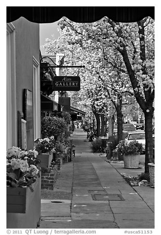 Sidewalk framed by blooming trees. Saragota,  California, USA (black and white)