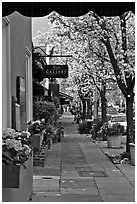 Sidewalk framed by blooming trees. Saragota,  California, USA ( black and white)