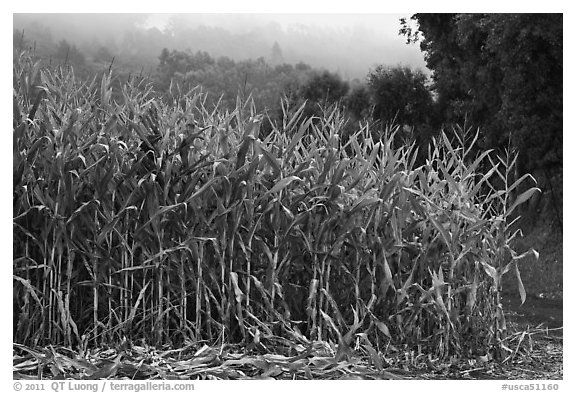 Corn crops. Half Moon Bay, California, USA (black and white)