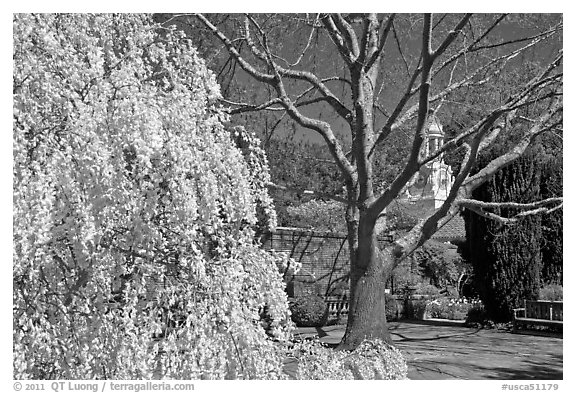 Tree blossoms in Filoli garden. Woodside,  California, USA (black and white)