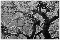 Oak trees with new leaves, Filoli estate. Woodside,  California, USA (black and white)