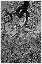 Newly leafed branches, Filoli estate. Woodside,  California, USA (black and white)