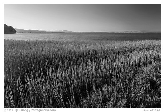 Grasses by San Pablo Bay, China Camp State Park. San Pablo Bay, California, USA (black and white)