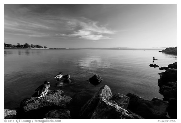 Ducks and Bay, Robert W Crown Memorial State Beach. Alameda, California, USA (black and white)