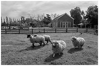 Sheep, Ardenwood historic farm regional preserve, Fremont. California, USA (black and white)