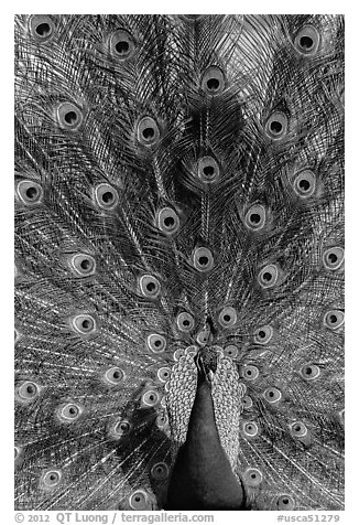 Peafowl fanning its tail, Ardenwood farm, Fremont. California, USA (black and white)